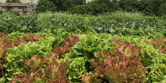 Field of lettuce heads and other greens in Midtown KC